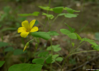 Wood sorrel plant herbal and edible use wood sorrel herb medicinal and edible use mightylinksfo Choice Image