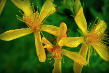 Wild Herb Plants, Medicinal Uses, and Descriptions