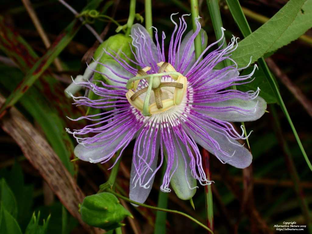 passionflower in full bloom