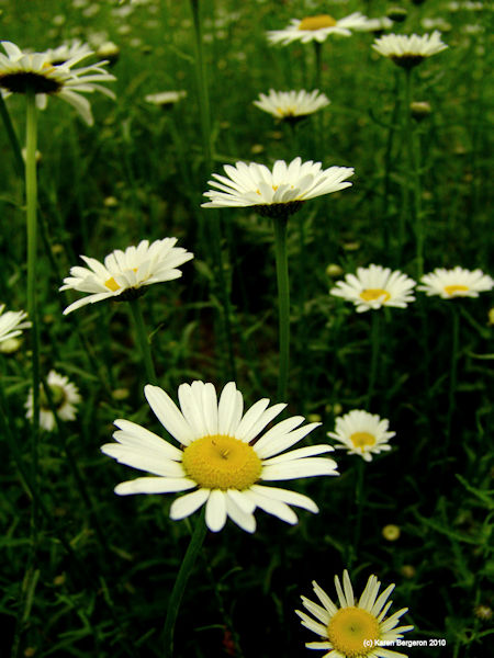 ox eye daisy flower Chrysanthemum leucanthemum plant picture