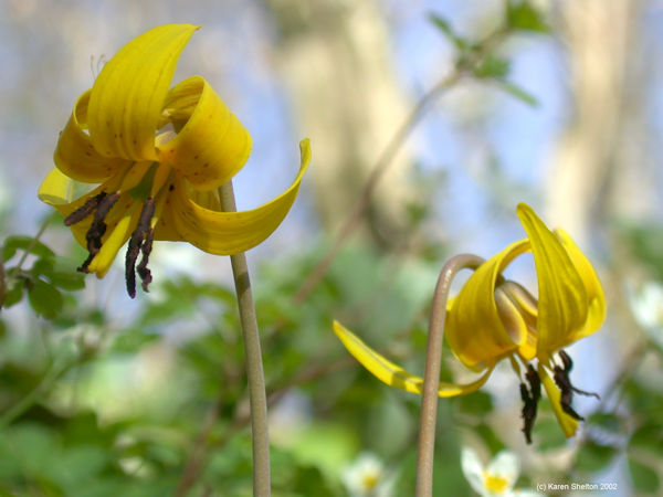 trout lily flower picture