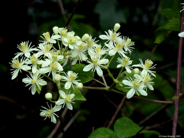 virgin's bower clematis virginiana medicinal herb flower picture