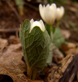 bloodroot herb flower emerging from leaf