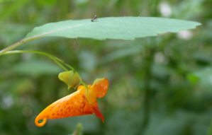 Poison Ivy Treatment from Nature Jewelweed Plant