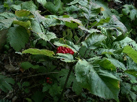 Ginseng herb plant picture with berries. This Ginseng plant is estimated to be 30 years old