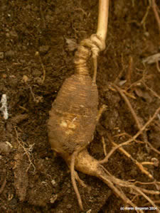 Ginseng Root picture
