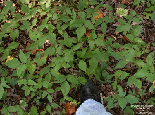 poison ivy ground cover