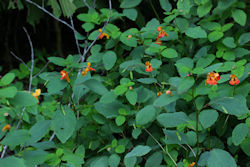Jewelweed plants growing in the wild