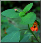 picture of Jewelweed, herb for poison ivy