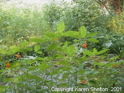 Jewelweed impatiens plant touch me nots garden balsam