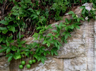 passionflower vine with fruit hanging from rock cliff
