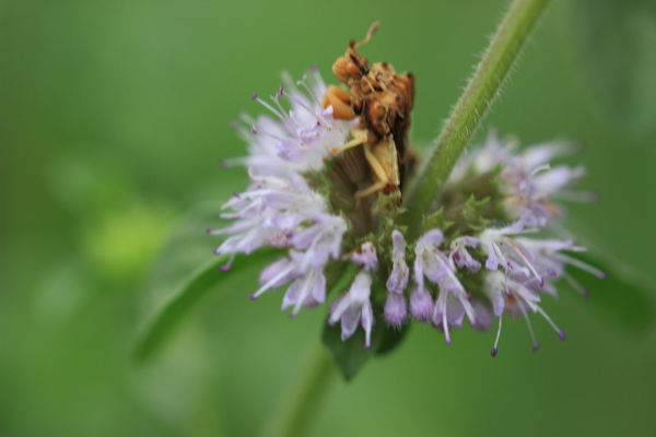 Pennyroyal Herb Blossom with Assasin Bug