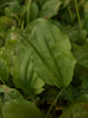 Close up plantain herb leaf and spike