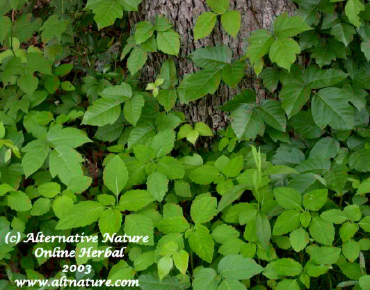 poison ivy cure treatment remedy Jewelweed Imaptiens