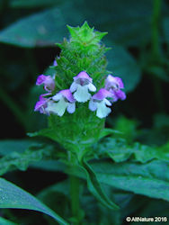Prunella vulgaris herb flower spike