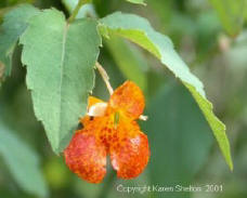 jewelweed bloom impatiens flower picture