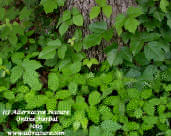 jewelweed is a natural poison ivy cure that often grows right next to poison ivy