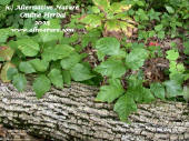 poison oak on log