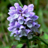 prunella vulgaris touted herpes cure