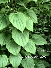 Wild Yam picture and uses Dioscorea Villosa