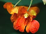 Jewelweed flower, bright orange flower